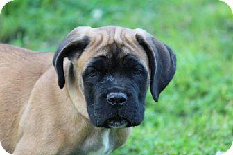 Cane Corso Puppy for adoption in Virginia Beach, Virginia - Cedar