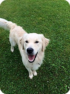 Golden Retriever Dog for adoption in Mentor, Ohio - BUDDY AKA BUDWEISER***READ WHOLE BIO DOG SELECTIVE***