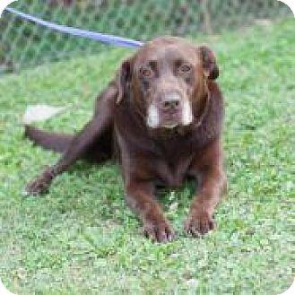 Labrador Retriever Mix Dog for adoption in New Martinsville, West Virginia - Harley