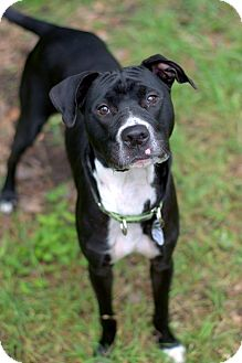 Pit Bull Terrier/American Staffordshire Terrier Mix Dog for adoption in College Station, Texas - Habanero