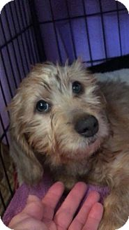 Dachshund Puppy for adoption in Lubbock, Texas - BLAKELY