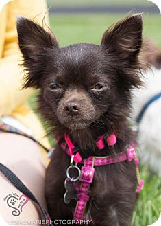 Chihuahua Mix Puppy for adoption in Grand Rapids, Michigan - Posey