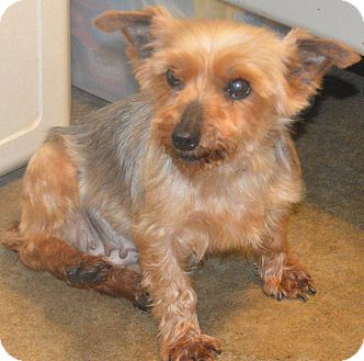 Yorkie, Yorkshire Terrier Dog for adoption in Prole, Iowa - Evonne