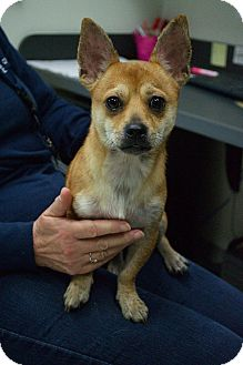 Chihuahua/Shiba Inu Mix Dog for adoption in Prince George, Virginia - Mookie