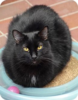Domestic Shorthair Cat for adoption in Des Moines, Iowa - Joey