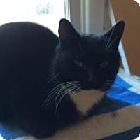 Domestic Shorthair Cat for adoption in Okotoks, Alberta - Theo
