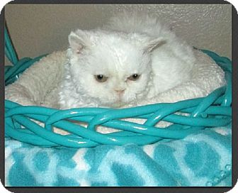 Selkirk Rex Cat for adoption in Gilbert, Arizona - Pennyanne