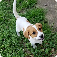 Adopt A Pet :: Berkley pending adoption - East Hartford, CT