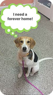 Beagle Mix Dog for adoption in Atlantic, North Carolina - Roxy