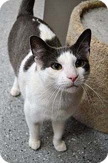 Domestic Shorthair Cat for adoption in Michigan City, Indiana - Nicholas
