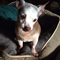 Chihuahua Dog for adoption in Richmond, Kentucky - Papi