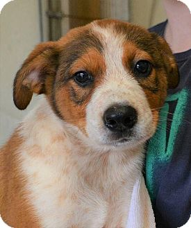 Cattle Dog Mix Puppy for adoption in Southbury, Connecticut - Artemis