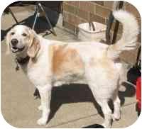 Labrador Retriever/Brittany Mix Dog for adoption in Osseo, Minnesota - Clancey
