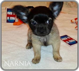 Pug/Chihuahua Mix Puppy for adoption in DeForest, Wisconsin - Narnia