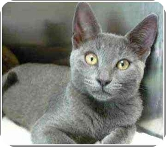 Domestic Shorthair Kitten for adoption in San Clemente, California - VERONICA
