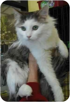 Domestic Mediumhair Cat for adoption in Statesville, North Carolina - Robin