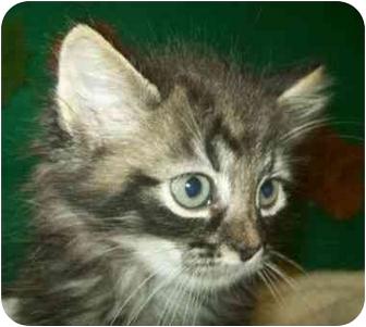 Domestic Mediumhair Kitten for adoption in Spruce Pine, North Carolina - Quincy