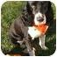Photo 2 - English Springer Spaniel Dog for adoption in Minneapolis, Minnesota - Sherman (MN)