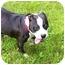 Photo 3 - American Bulldog/Staffordshire Bull Terrier Mix Dog for adoption in Mocksville, North Carolina - Coco