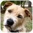 Photo 3 - Otterhound/German Wirehaired Pointer Mix Dog for adoption in Odessa, Florida - YBOR