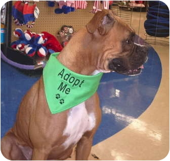 Boxer Dog for adoption in Turnersville, New Jersey - Bella