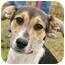 Photo 1 - Corgi/Beagle Mix Puppy for adoption in Westport, Connecticut - *Angela - PENDING