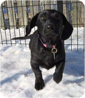 Dachshund Mix Puppy for adoption in Ile-Perrot, Quebec - Zazoo