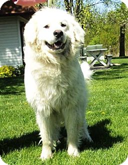 Great Pyrenees Dog for adoption in Minneapolis, Minnesota - Duncan