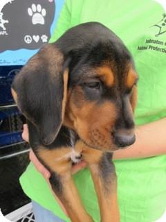 Rottweiler Mix Puppy for adoption in Smithfield, North Carolina - Blaze