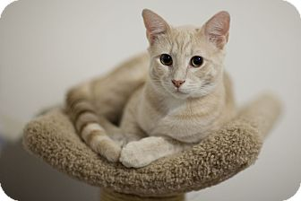Domestic Shorthair Kitten for adoption in Chicago, Illinois - Buff