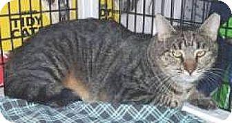 Domestic Shorthair Cat for adoption in Miami, Florida - Pirulina