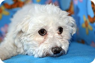 Maltese Dog for adoption in Howell, Michigan - Lionel