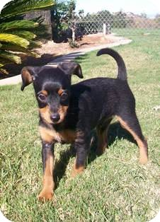 Dachshund/Terrier (Unknown Type, Small) Mix Puppy for adoption in Tustin, California - Jacob