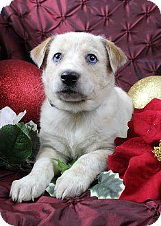 Blue Heeler Mix Puppy for adoption in Westminster, Colorado - Cedar