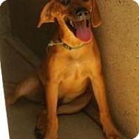 Labrador Retriever Mix Dog for adoption in Oakland, Arkansas - Flint