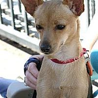 Adopt A Pet :: Apple - Santa Monica, CA