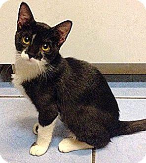 Domestic Shorthair Kitten for adoption in The Colony, Texas - Pudgie