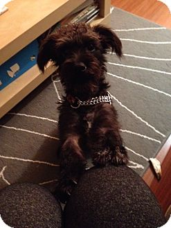 Scottie, Scottish Terrier/Terrier (Unknown Type, Small) Mix Dog for adoption in Vancouver, British Columbia - Roscoe