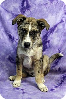 Catahoula Leopard Dog Mix Puppy for adoption in Westminster, Colorado - Blaze