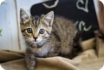Domestic Shorthair Kitten for adoption in Coral Springs, Florida - Aurora