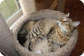 Domestic Mediumhair Cat for adoption in Homewood, Alabama - Sasha