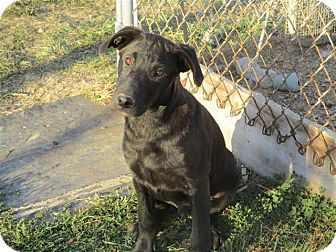 Labrador Retriever/German Shepherd Dog Mix Puppy for adoption in Liberty Center, Ohio - Keifer