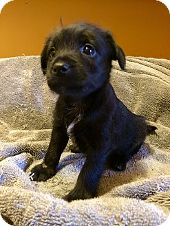 Schnauzer (Giant)/Chow Chow Mix Puppy for adoption in Atlanta, Georgia - Harley