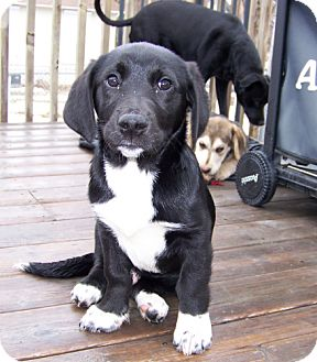 Basset Hound/Alaskan Malamute Mix Puppy for adoption in Hastings, Minnesota - Broddee ~ADOPTED~