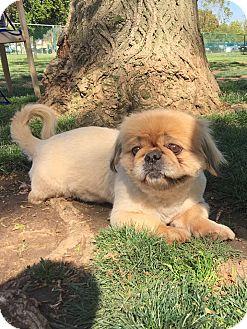 Pekingese Dog for adoption in west hollywood, California - Fred