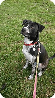 Labrador Retriever/Catahoula Leopard Dog Mix Dog for adoption in Waldorf, Maryland - Jitterbug
