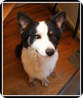 Border Collie Mix Dog for adoption in Indian Trail, North Carolina - Shilo