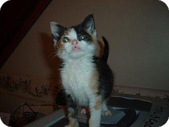 Calico Cat for adoption in Walnutport, Pennsylvania - Ashley