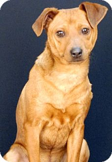 Dachshund/Feist Mix Dog for adoption in Newland, North Carolina - Chase