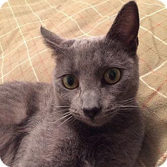 Russian Blue Cat for adoption in Brea, California - DUSTY